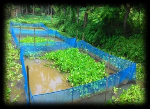 Pond preparation of eel culture