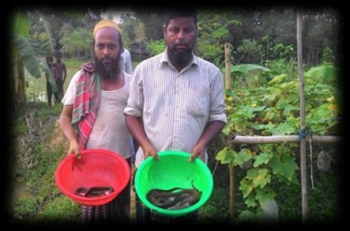 Production of cuchia fish in farmer's pond