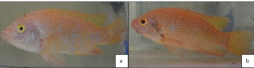 Skincolor of red tilapia subjected to 0.11-0.15ppm of un-ionized ammonia: (a) before introduction to stressor; (b) after introduction to stressor