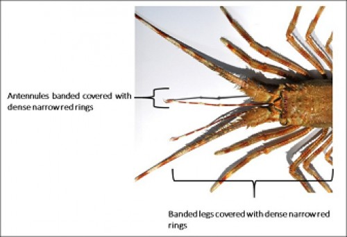 antennules banded and legs covered with dense narrow red rings of <em>Palinustus waguensis.</em>