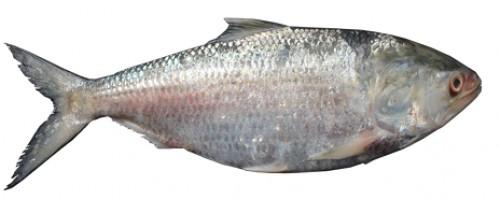 Freshwater hilsa fish, <em>Tenualosa ilisha</em>