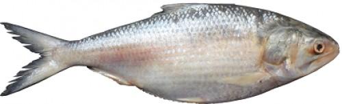 Marine hilsa fish, <em>Tenualosa ilisha</em>